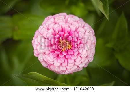 Purple zinnia flower in the garden on a background of green leaves. Top view.
