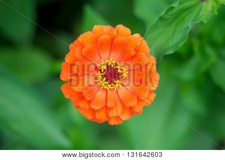 Orange zinnia flower in the garden on a background of green leaves. Top view.
