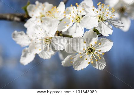 closeup photo showing a few flowers of blackthorn