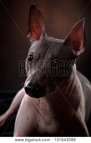Xoloitzcuintle - Hairless Mexican Dog Breed