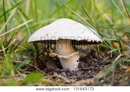 Wild-growing mushroom (Champignon lat.: Agaricus) in the grass. Front view.