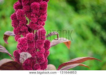 Beautiful amaranth (lat.: Amaránthus) purple flower in the garden. Side view.