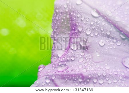 Macro purple flower with bubble on green blurred background Texture purple flower and bubble on blur green background