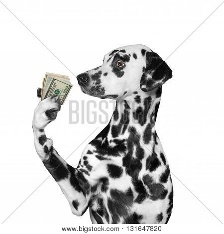 Dog holding in its paws a lot of money -- isolated on white