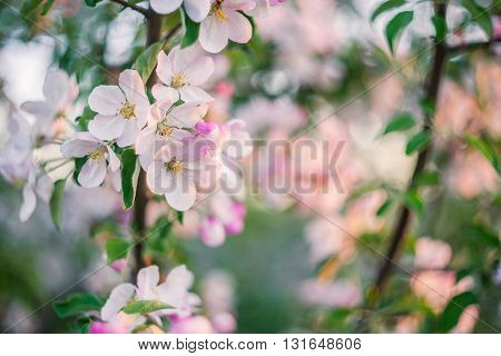 Soft Background With Bloomng Apple Tree