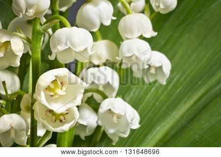 Fragrant lilies of the valley on a background of green leaves. Macro. Fresh sprigs of lily of the valley illuminated by diffused light.