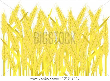 Field of ripe yellow wheat ears on white, painting, vector illustration