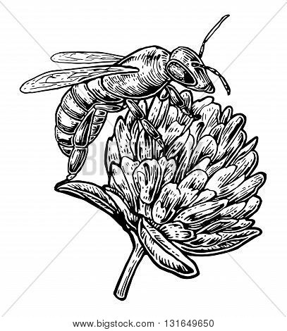 Bee pollen from clover. Vector vintage illustration on white background.