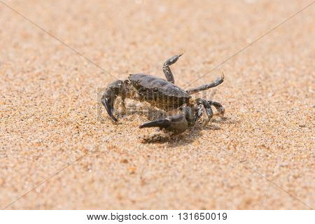 The little sea crab on the sand