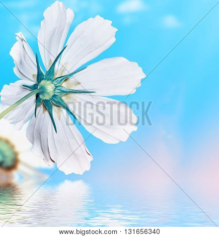 daisy flowers on blue sky background. Flowers cosmos