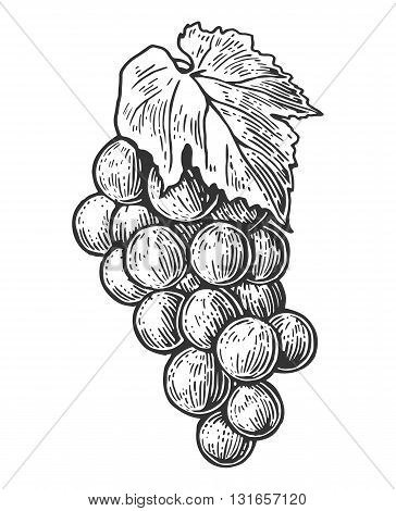 Bunch of grapes. Black and white vintage engraving vector illustration for label poster web. Isolated on white background