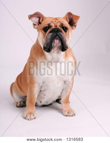 Bulldog Sitting Down