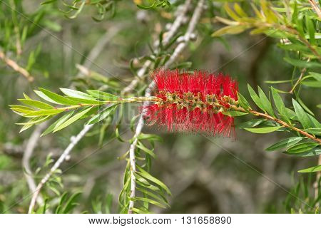Closeup flower of Scarlet Bottle brush (Callistemon) in red color blossoming in the garden with blurred background