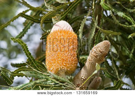 Closeup of inflorescence of Banksia prionotes, (Acorn Banksia) flower spikes in white yellow orange color with serrated leaves grown in Southwest Australia