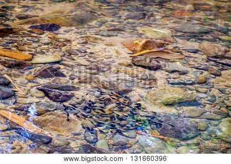Fish in clear water small mountain stream with large stones on the bottom Khao Sok National Park Surat Thani Province Thailand.