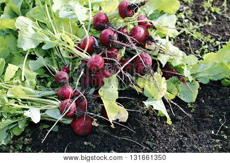 Fresh red radishes with leaves growing in the garden