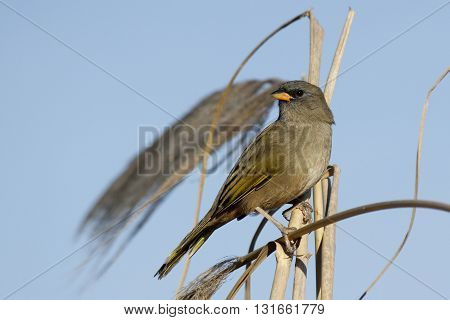 Bird verdon perched on a plant from plumerillo in the coast of buenos aires