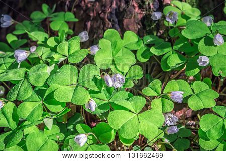 Oxalis flowers during flowering at dawn in the woods.