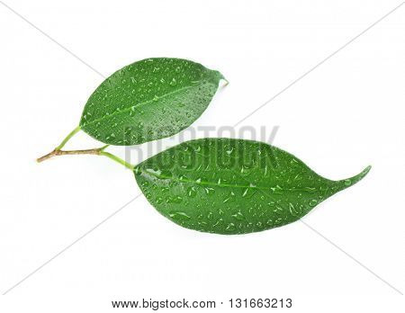 Rubber plant leaves isolated on white