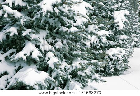 Snow-covered Christmas trees in winter park