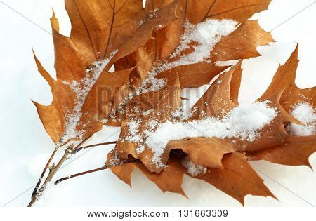 Beautiful tree branch with brown leaves on natural snowdrift, close up