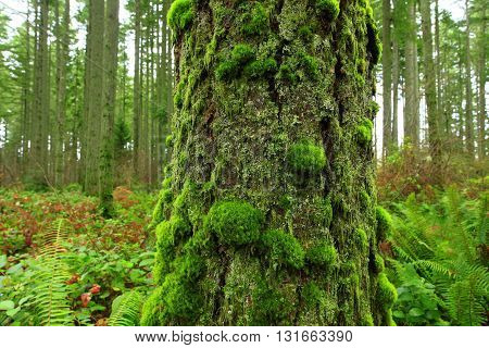 a picture of an exterior Pacific Northwest mossy Douglas fir tree trunk