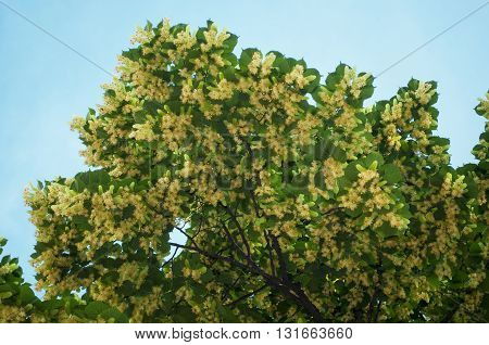 linden treetop with flower on blue sky