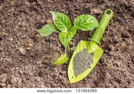 Pepper Seedlings In The Seedbed And A Garden Shovel The Granules Fertilizer Lying
