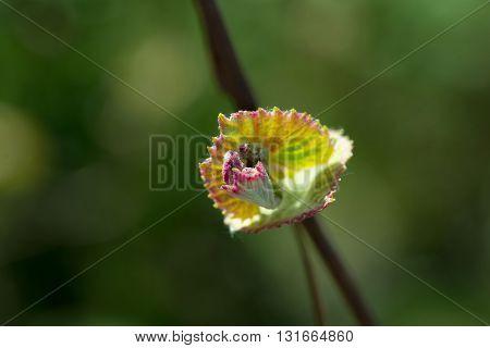 Flower Of Grape