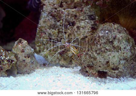 Pacific Cleaner Shrimp (lysmata Amboinensis)