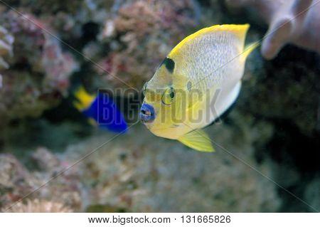 Young Flameback Angelfish (centropyge Aurantonotus)