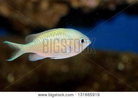 A shot of a beautiful green chromis fish