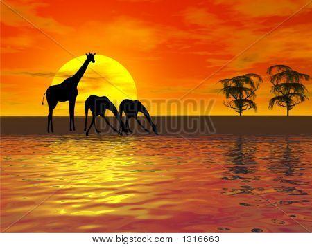 Sunset With Giraffes