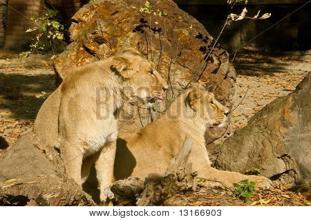 Two Lion Females