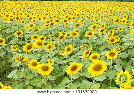 Sunflower in garden with sky background. Sunflower garden during the daytime with sun light.