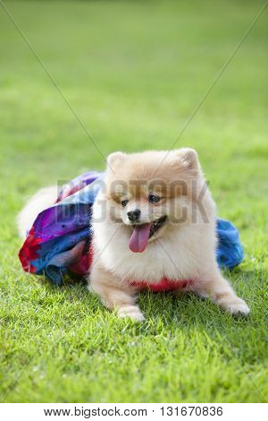 Pomeranian dog on the lawn it wear clothes for dog and clothes of pom has ping and blue color.