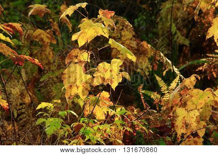 a picture of an exterior Pacific Northwest forest of young vine maple trees in fall