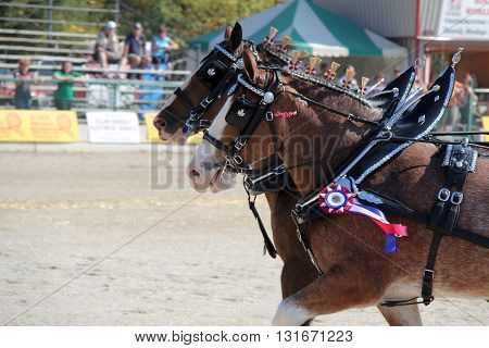Prize winning horses riding to victory at a fair
