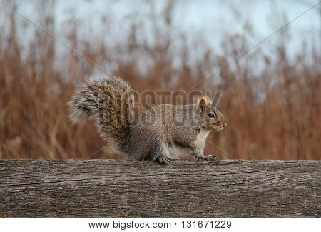 Squirrel with fluffy tail resting on a piece of wood