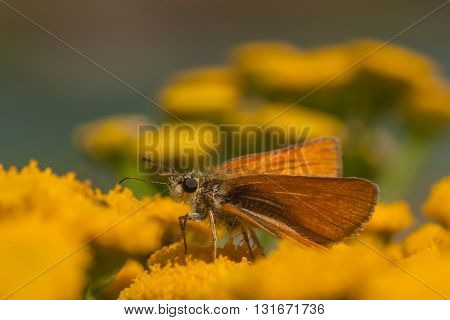Macro of a European Skipper harvesting a tansy flower.