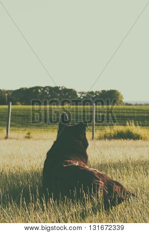 Dog with one bent ear lying in the grass watching over the prairie.