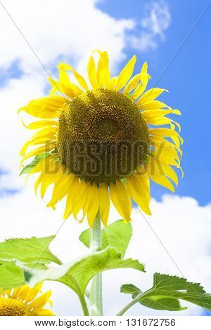 Beautiful landscape with sunflower field over cloudy blue sky and bright sun lights