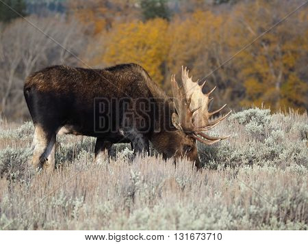 A moose grazing near Jackson Hole, Wyoming