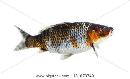 Koi Fish Isolated On The White Background