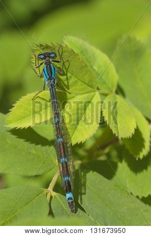 Dorsal view macro of a blue and brown damselfly resting on bright green leaves.