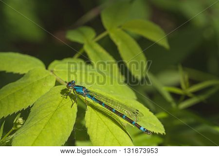 Macro of a blue and brown damselfly resting on bright green leaves.