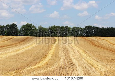 Golden harvested field in fall in Michigan