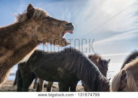 Portrait Of Iceland Ponies