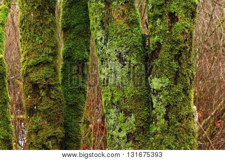 a picture of an exterior Pacific Northwest mossy maple trees in winter