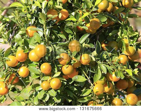 a lot of kumquat trees for sale before Tet - Vietnamese New Year